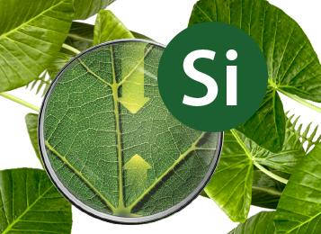 سیلیسیوم حامی سلامتی و رشد گیاه