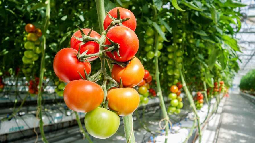 ارزیابی اثر قارچ کش Agri-Fos® SL 40% بر درمان بیماری سفیدک داخلی گوجه فرنگی در گلخانه